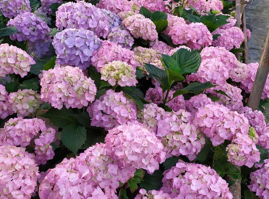 Hortensia frais ou sec